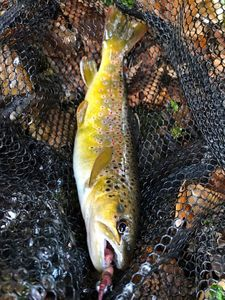 Brown Trout — Anthony Ls