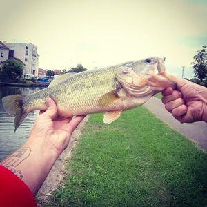 Largemouth Bass — Nico Raplapla