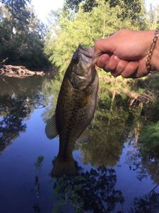 Largemouth Bass — Florian A