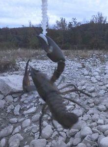 Spinycheek Crayfish — Johann D