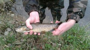 Brown Trout — Jérôme Lahaye