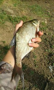 Common Bream — Kr Fishing