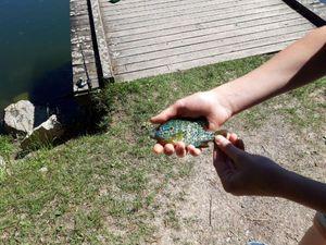 Green Sunfish — Victor Kretz