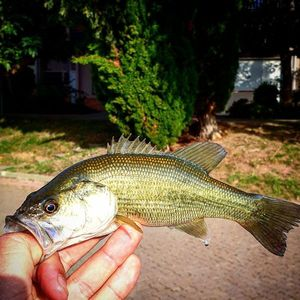 Largemouth Bass — Alexandre Fages