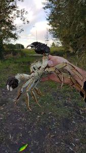 crabe  chinois — Jean-Leandre Montero