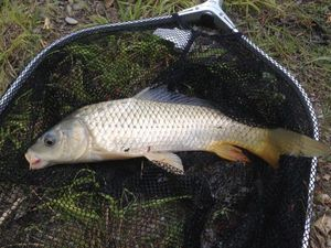 Common Carp — Adrien DONNEAU-RENARD