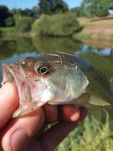 Largemouth Bass — Walker's Fishing