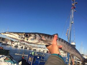Yellowmouth Barracuda — Fishing Porquerolles