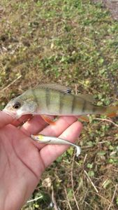 European Perch — Irie Vibration