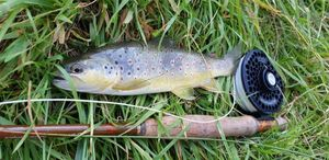 Brown Trout — Alexandre Fages