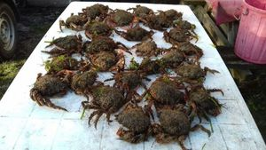 Common Spider Crab — Willy Lafon