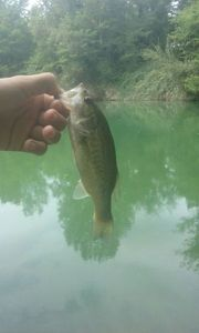Largemouth Bass — Amory Camino