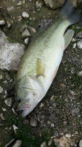 Largemouth Bass — Enzo Pecheur