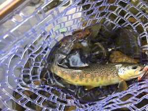 Brown Trout — Giovanni Guillaume