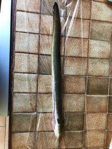 European Eel (Common Eel) — Michael Wackmenko