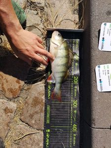 European Perch — Danny de Vries