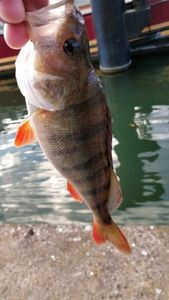 European Perch — Romu Romumu