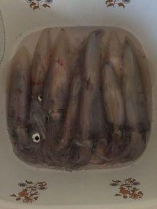 European Squid — Nicolas CARDOVILLE