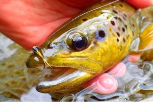 Brown Trout — Titi Oz