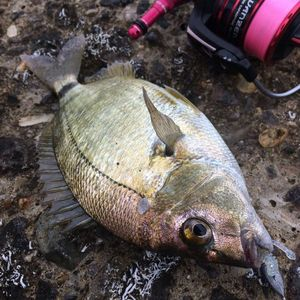 Saddled Seabream — Alexander Gritsienko
