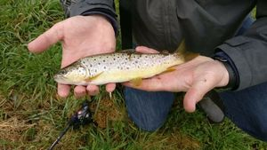 Brown Trout — Alban Chacha