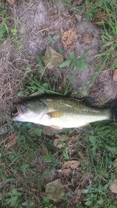 Largemouth Bass — Baptiste Delbarre