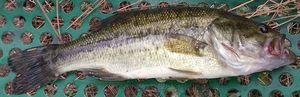 Largemouth Bass — Yohan Volonzac