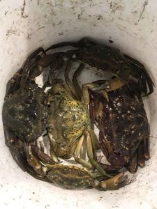 Common Shore Crab (Green Crab) — Matthieu Cormier