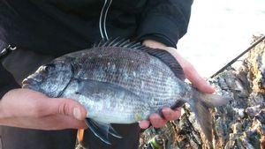 Sar Commun — breizh fish addict