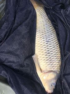 Common Carp — Paul Truchet