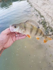 European Perch — Nes Tha