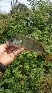 European Perch — Sky-Dlf Shot