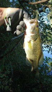 Largemouth Bass — Xav Latoz