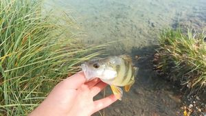 European Perch — Lorenzo Fishing Treize