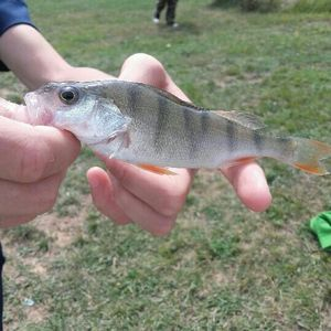 European Perch — Ethan Habeck