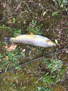 Brown Trout — Korentin Carpentier