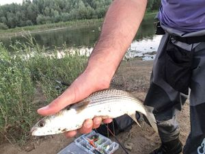 Thinlip Grey Mullet — Sebastien Baux