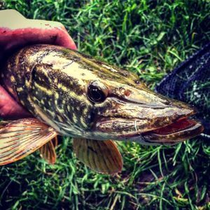 Northern Pike — French_Fisher  Baptiste