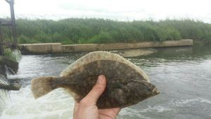 European Flounder — Les Pêcheurs  Normands