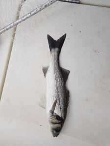 European Bass — Nicolas Groleau