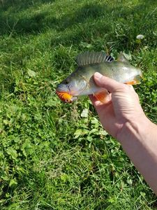 European Perch — No Stress