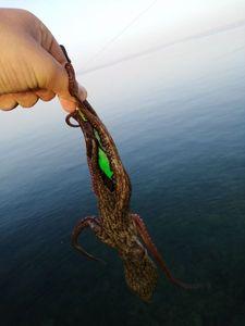 Common Octopus — Adrien fishingriverandsea