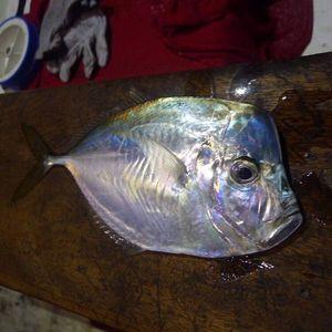 African Moonfish — Raphael Du Merilis