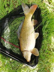 Common Carp — Pierre Chevillard