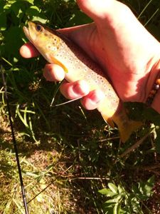 Brown Trout — Antho Toteamfishing