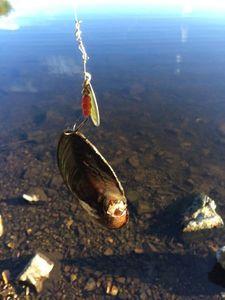 Blue Mussel — Francois Giraud