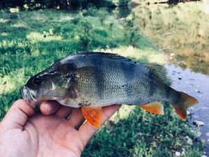 European Perch — Bell Clery