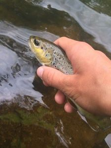 Brown Trout — Gaëtan Boussuge