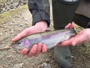 Rainbow Trout — Nicolas Rival