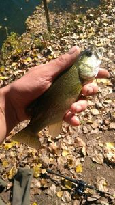Smallmouth Bass — Sébastien Coilier